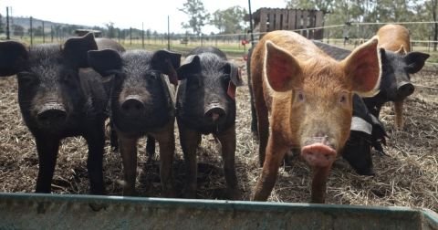 black and brown pigs in a pasture pen on a farm