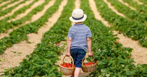 young boy picking strawberries on a farm field
