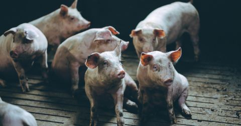 pink piglet hogs at a factory farm CAFO