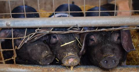 three black pigs with their snouts against a wire fence on a farm