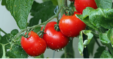 dewdrops on red tomatoes on the vine
