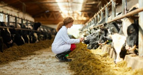 veterinarian examining cows on a dairy farm