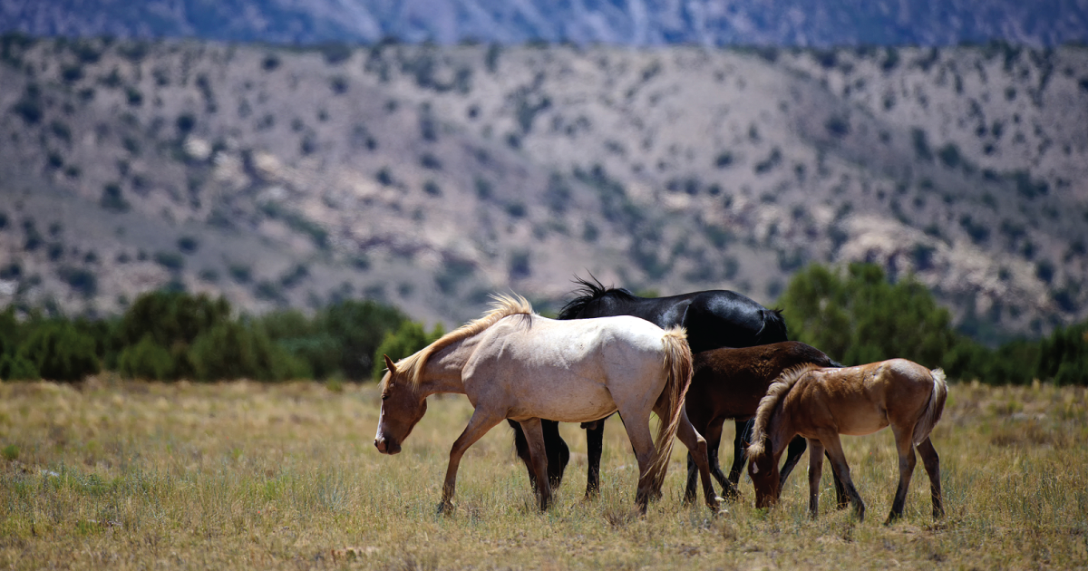 Kicking up Controversy With Wild Horses in the West